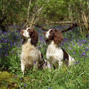 JD-11521 English Springer Spaniel Dogs - in bluebell woodland