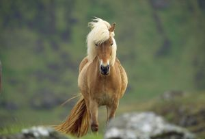 JD-11832 ICELANDIC HORSE - STANDS FACE ON