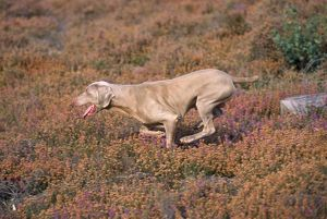 JD-12158 WEIMARANER DOG - RUNS IN HEATHER