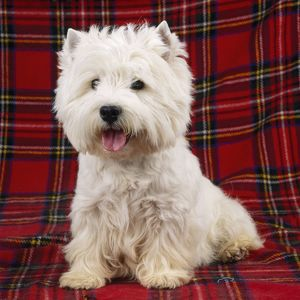 JD-12435E West Highland White Terrier Dog - on tartan rug