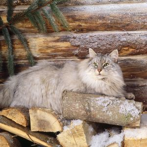 JD-13329 Norwegian Forest Cat - on logs