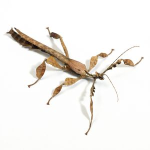 JD-15641 Giant Prickly Stick Insect