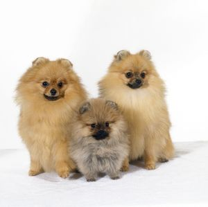 JD-16712 DOG - Pomeranian, three sitting, one puppy, studio shot
