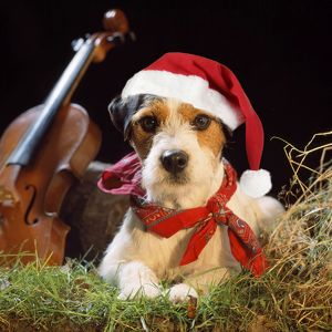 JD-16757-M Jack Russell Terrier Dog - in gypsy setting wearing Christmas hat