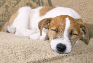 JD-17483E Jack Russell Terrier Dog - puppy asleep