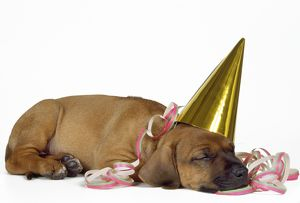 JD-17640 DOG - Rhodesian Ridgeback puppy asleep wearing a party hat and streamer