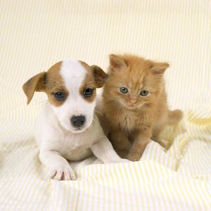 JD-17740 DOG AND CAT - Ginger kitten and Jack Russell Terrier puppy