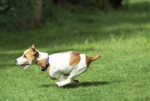 JD-17778 DOG - Jack Russell Terrier, running