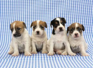 JD-18224 DOG - Jack Russell Terrier puppies on blue gingham
