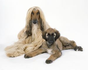 JD-18225 DOG - Afghan Hound and puppy