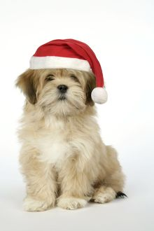 JD-18970-M DOG - Lhasa Apso - 12 week old puppy with Christmas hat