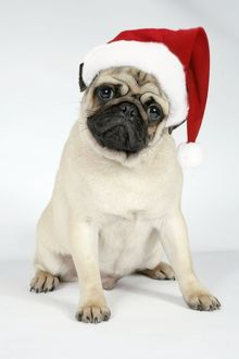 JD-19274-M DOG. Fawn pug - wearing Christmas hat