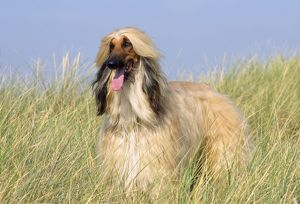 JD-19507 Dog - Afghan Hound