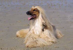 JD-19510 Dog - Afghan Hound on beach
