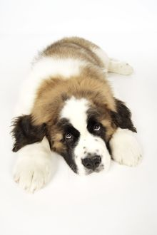 JD-19829-M St Bernard Dog - 14 week old puppy
