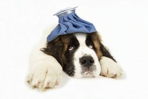 JD-19830-M St Bernard Dog - 14 week old puppy with ice pack on his head