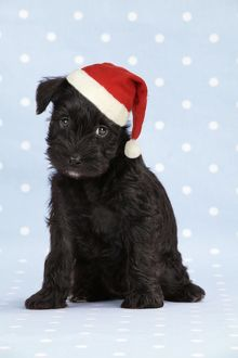JD-19996-M1 Dog. Miniature Schnauzer puppy (6 weeks old) on blue background wearing Christmas hat