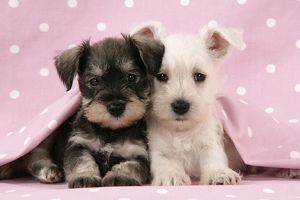Dog. Miniature Schnauzer puppies (6 weeks old) on pink background