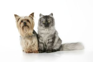 JD-20108 Cat & Dog - Chincilla X Persian. dark silver smoke with a Yorkshire Terrier dog