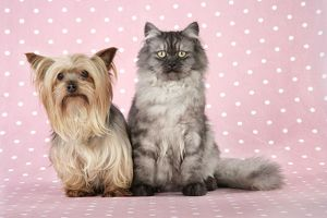 JD-20109-M Cat & Dog - Chincilla X Persian. dark silver smoke with a Yorkshire Terrier dog