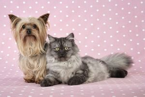 JD-20110-M Cat & Dog - Chincilla X Persian. dark silver smoke with a Yorkshire Terrier dog