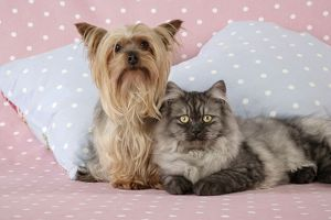 JD-20111-M Cat & Dog - Chincilla X Persian. dark silver smoke with a Yorkshire Terrier dog