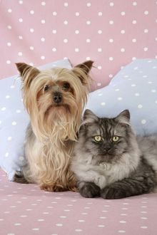 JD-20112-M Cat & Dog - Chincilla X Persian. dark silver smoke with a Yorkshire Terrier dog