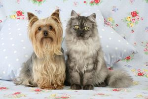 JD-20114-M Cat & Dog - Chincilla X Persian. dark silver smoke with a Yorkshire Terrier dog