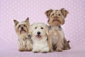 JD-20115 Dogs - Yorkshire Terrier, Jack Russell terrier X Bichon and Poodle X Yorkshire