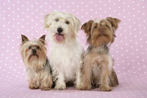 JD-20116 Dogs - Yorkshire Terrier, Jack Russell terrier X Bichon and Poodle X Yorkshire