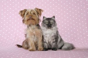 JD-20117-M Cat & Dog - Chincilla X Persian