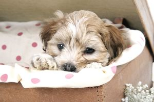 puppies/jd 20140 dog 7 weeks old lhasa apso cross shih