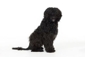 JD-20150 Portuguese Water Dog - sitting (9 months old)