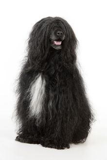 JD-20151 Portuguese Water Dog