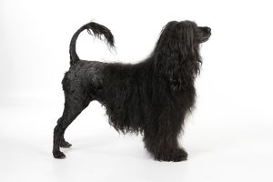 JD-20152 Portuguese Water Dog