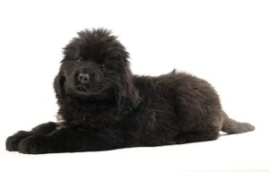 JD-20153 Portuguese Water Dog