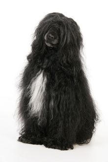 JD-20154 Portuguese Water Dog
