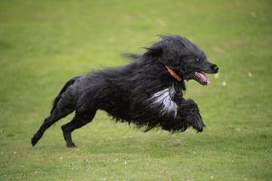 JD-20155 Portuguese Water Dog - running