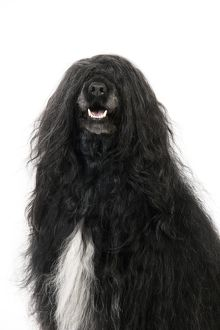 JD-20158 Portuguese Water Dog