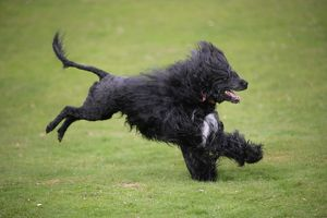 JD-20160 Portuguese Water Dog - running