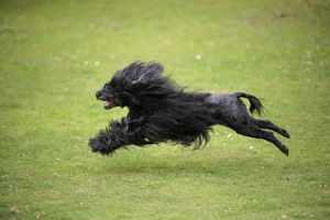 JD-20161 Portuguese Water Dog - running
