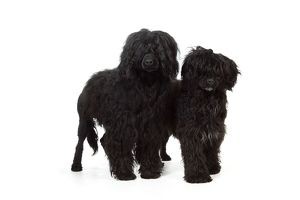 JD-20162 Portuguese Water Dog - with puppy (9 months old