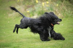 JD-20163 Portuguese Water Dog - running