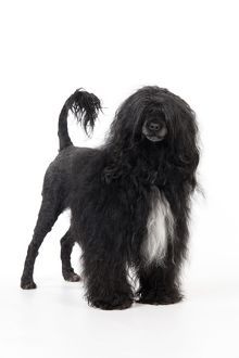 JD-20164 Portuguese Water Dog