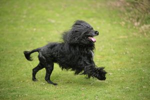 JD-20165 Portuguese Water Dog - running