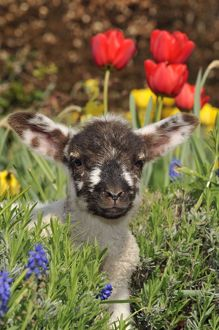 JD-20204 Sheep - lamb in spring flowers