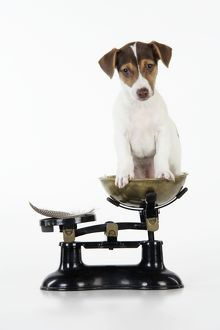 JD-20224 Dog - Jack Russell Terrier puppy on scales with a feather