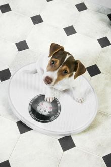 JD-20226-M Dog - Jack Russell Terrier puppy on bathroom scales