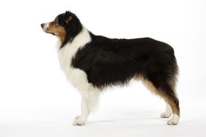 JD-20236 Australian Shepherd Dog