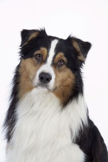JD-20238 Australian Shepherd Dog
